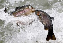 A pair of rainbow trout fly through the air as they flow with the other fish from a hose to the waters of North Park Lake as they are stocked on Monday, March 21, 2016, for the upcoming Pennsylvania trout fishing season at the Allegheny County park in McCandless, Pa., north of Pittsburgh. The season opens statewide on April 16, 2016. (AP Photo/Keith Srakocic)